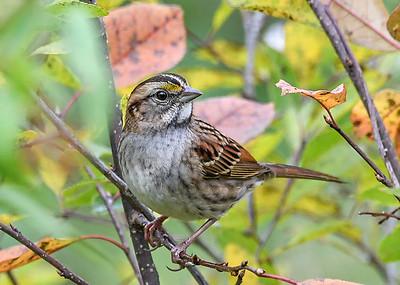 White-throated Sparrow in Serviceberry Tree - October 13, 2020 Had several of these sparrows migrating through over the past week.