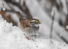"""<div class=""""jaDesc""""> <h4>White-throated Sparrow in Snow - January 24, 2017 </h4> <p>The White-throated Sparrows normally feed on the ground, but they do enjoy this one raised board feeder that is tucked in under a bush.  Lately, this bird only shows up when we have a snow.</p></div>"""