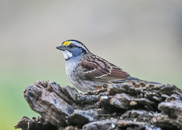 """<div class=""""jaDesc""""> <h4>White-throated Sparrow on Perch - October 23, 2018 </h4> <p>This White-throated Sparrow posed nicely for me while taking a break from feeding.</p></div>"""