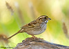 """<div class=""""jaDesc""""> <h4>White-throated Sparrow - Side View - October 30, 2007 </h4> <p>Here is a side view of the White-throated Sparrow.  It had just chased away a couple of Juncos and a Chickadee to have the seed bar to itself for a moment.</p> </div>"""