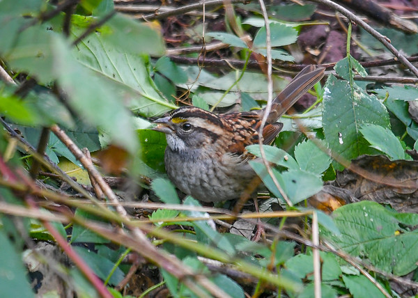 """<div class=""""jaDesc""""> <h4>White-throated Sparrow Under Bush - October 23, 2018 </h4> <p>We have had 6 migrating White-throated Sparrows around for the past 2 weeks.   This one was ground feeding under a bush.</p></div>"""