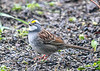 "<div class=""jaDesc""> <h4>White-throated Sparrow Watching for Predator Hawks - April 29, 2019</h4> <p> </p></div>"