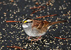 """<div class=""""jaDesc""""> <h4>White-throated Sparrows Passing Through - October 4, 2010 </h4> <p>As best I can tell, we have 2 adult and 2 immature White-throated Sparrows scurrying around under our bushes eating white millet seed. This one is definitely an adult with the bright white throat and yellow eyebrows. They usually hang around for a week to 10 days.</p> </div>"""