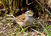 """<div class=""""jaDesc""""> <h4>White-throated Sparrow Ground Feeding - April 14, 2008 </h4> <p> This morning my wife said she heard a White-throated Sparrow out by the barn area, so I was on the lookout.  Sure enough, I found it under a bush in front of our house.  I love the cute yellow eyebrows.</p> </div>"""