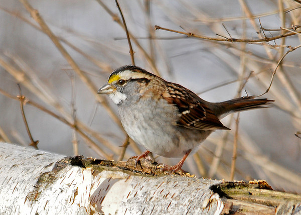 """<div class=""""jaDesc""""> <h4>White-throated Sparrow on Birch Log -January 1, 2015 </h4> <p>I sprinkle a mix of sunflower chips and thistle seed on this birch log every morning.  A pair of White-throated Sparrows that look like they will be staying the winter enjoy that mix.</p> </div>"""