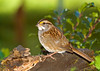 """<div class=""""jaDesc""""> <h4>White-throated Sparrow in Holly Bush - October 22, 2008 </h4> <p>I thought I saw a White-throated Sparrow a few days ago, but wasn't sure.  Today this gal made a grand appearance in the holly bush in front of our house.  I love her yellow eyebrows.</p> </div>"""