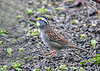 "<div class=""jaDesc""> <h4>White-throated Sparrow Neck Stretch - April 29, 2019</h4> <p></p></div>"