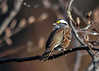 """<div class=""""jaDesc""""> <h4>White-throated Sparrow Over the Shoulder Look - April 18, 2016 </h4> <p>This White-throated Sparrow showed up this morning and immediately gave me a nice pose in the early morning sunlight.</p></div>"""