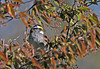 """<div class=""""jaDesc""""> <h4>White-throated Sparrow - Last One - April 30, 2010 </h4> <p>All the White-throated Sparrows have continued North except for this last one.</p> </div>"""