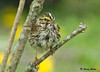 """<div class=""""jaDesc""""> <h4> White-throated Sparrow After Bath - May 6, 2009</h4> <p>  This White-throated Sparrow had just finished taking a bath in our water garden stream. He was shaking vigorously and grooming.</p> </div>"""