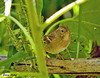 """<div class=""""jaDesc""""> <h4> Field sparrow Hiding - Video Attached - September 19, 2009</h4> <p> It is nice to still have the Field Sparrow family around (2 adults and 2 juveniles).  I caught this one hiding among the sunflower stalks between ground feeding sessions.</p> </div> </br> <center> <a href=""""http://www.youtube.com/watch?v=pERyy4Tftr8&feature=youtu.be"""" class=""""lightbox""""><img src=""""http://www.jerryacton.com/images/stories/video_thumb.jpg"""" alt=""""""""/></a> </center>"""