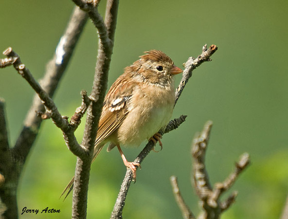 """<div class=""""jaDesc""""> <h4> Juvenile Field Sparrow in with the Parents - July 31, 2009</h4> <p> This is the second of two juvenile Field Sparrows that are now coming into the feeders with their parents.  This one looks to be a bit further along in his feather coloring.</p> </div>"""