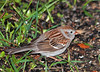 """<div class=""""jaDesc""""> <h4> 1st of Year Field Sparrow - April 9, 2010 </h4> <p> This was the first bird I saw when I looked out the window this morning.  This Field Sparrow arrived in late March, 2-3 weeks early, just in time for a cold spell.</p> </div>"""