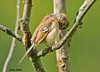 """<div class=""""jaDesc""""> <h4> Juvenile Field Sparrow Grooming - August 31, 2009</h4> <p> I am always amazed at how quickly the juvenile birds mimic their parents behavior.  This juvenile Field Sparrow spent several minutes grooming  and preening his feathers.</p> </div>"""