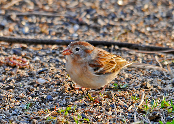 """<div class=""""jaDesc""""> <h4> Field Sparrow - First of Year - April 13, 2014</h4> <p> It was a pleasant surprise to see this Field Sparrow ground feeding in the afternoon sun.</p> </div>"""