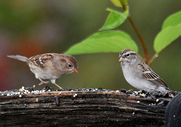 """<div class=""""jaDesc""""> <h4> Juvenile Field Sparrow & Chipping Sparrow - October 5, 2010</h4> <p> It is very unusual to see two juveniles of different species peacefully feeding together.  The juvenile Field Sparrow is on the left and juvenile Chipping Sparrow is on the right.</p> </div>"""