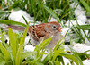 "<div class=""jaDesc""> <h4> 1st of Year Field Sparrow - April 23, 2012</h4> <p> A pair of Field Sparrows showed up the day before we got 2 inches of heavy wet snow.  I sprinkled extra white millet seed on the ground that morning.  All the ground feeding Sparrows and Juncos really appreciated it.</p> </div>"
