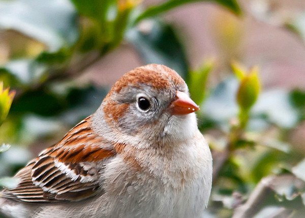 """<div class=""""jaDesc""""> <h4> Field Sparrow in Holly Bush - May 13, 2013</h4> <p> One of the Field Sparrows came in real close to our holly bush looking for white millet seed I toss on the leaves.  They mostly prefer to ground feed, but both seemed to enjoy hanging out in the bushes today.</p> </div>"""