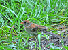 """<div class=""""jaDesc""""> <h4> Juvenile Field Sparrow Ground Feeding - July 23, 2010</h4> <p> I haven't seen the adult Field Sparrows since April.  This juvenile has visited our feeder area to ground feed several times all by himself.  He is still working on completing his brown crown feathers and getting more color in his wing feathers.</p> </div>"""