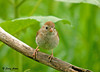 """<div class=""""jaDesc""""> <h4>Adult Field Sparrow Close-up - August 13, 2009</h4> <p> I'm guessing, but I think this is the female of the pair.  They are getting very tame, allowing me to get closer each time I go out with my camera..</p> </div>"""
