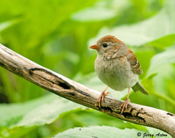 """<div class=""""jaDesc""""> <h4> Field Sparrow on Perch - August 13, 2009</h4> <p> We have a nesting pair of Field Sparrows again this year.  They visit the feeder area together numerous times a day along with the other sparrows.</p> </div>"""