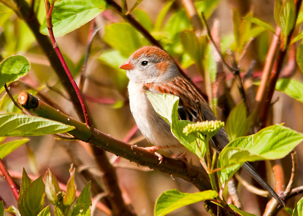 """<div class=""""jaDesc""""> <h4> Field Sparrow in Red-twig Dogwood - May 13, 2013</h4> <p> A pair of Field Sparrows have been here for about a month, but this is the first opportunity they have given me for a photograph.  Field Sparrows are the smallest sparrow, with a sweet innocent look about them.</p> </div>"""
