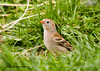 """<div class=""""jaDesc""""> <h4> Field Sparrow in High Grass - May 10, 2007</h4> <p> The field sparrow happily ground feeds along with the other small songbirds.&nbsp; None of the other species bother it at all.</p> </div>"""