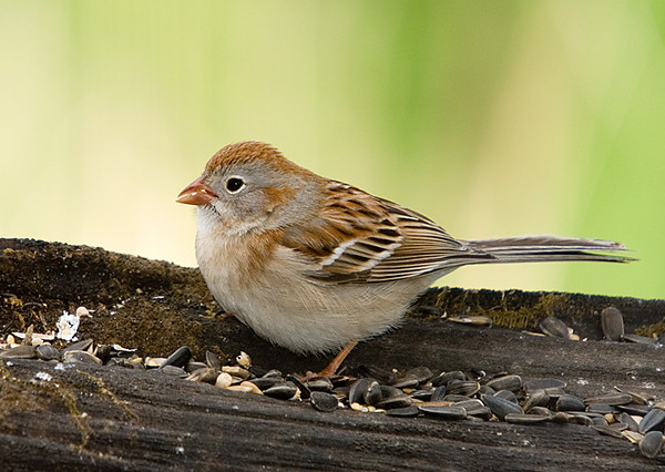 """<div class=""""jaDesc""""> <h4> 1st of Year Field Sparrow - May 1, 2008</h4> <p> This is our first Field Sparrow of the year that showed up yesterday.  We usually have a nesting pair each year.  It is the smallest sparrow, and in my opinion the cutest.</p> </div>"""