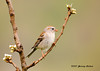 """<div class=""""jaDesc""""> <h4> Field Sparrow - Right Side View - May 10, 2007</h4> <p> For the first time this year (2007), the Field Sparrow would perch before ground feeding, so I was able to get some nicer views of its markings.</p> </div>"""