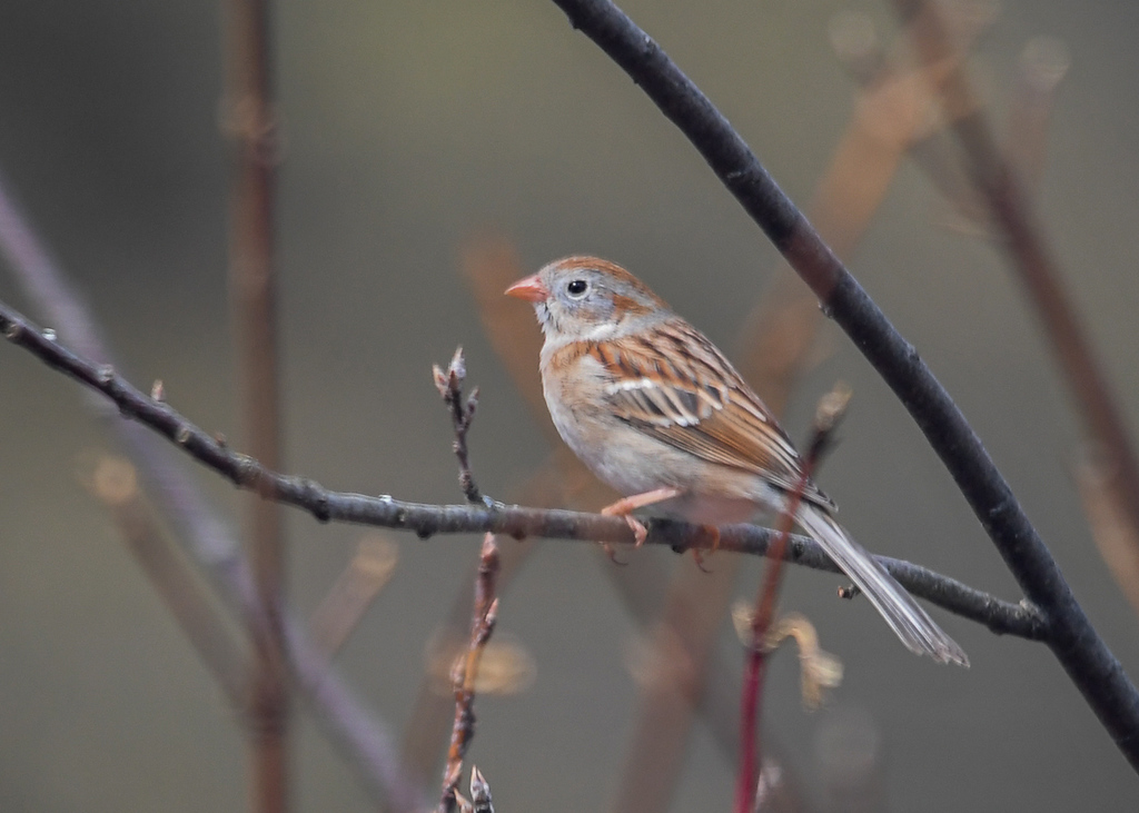 "<div class=""jaDesc""> <h4> Field Sparrow on Branch - April 11, 2018</h4> <p>This little Field Sparrow was patiently waiting for the Blue Jays to leave the feeder area so he could have a turn.</p> </div>"