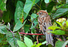 "<div class=""jaDesc""> <h4> Field Sparrow Migrating Through - September 24, 2011 </h4> <p> We did not have our usual pair of Field Sparrows this summer, but they have stopped by during migration.</p> </div>"