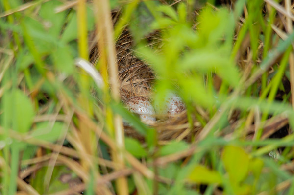 """<div class=""""jaDesc""""> <h4> Field Sparrow Nest - May 16, 2015</h4> <p> I was not able to get a shot of the Field Sparrow, but a member of our group saw her fly out of a patch on the ground.  Her neat little nest with two eggs was nestled under fairly dense cover in a large field, safe from predators.</p> </div>"""