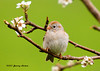 """<div class=""""jaDesc""""> <h4> Field Sparrow Posing - May 12, 2007</h4> <p> Each spring we have one field sparrow show up for about 2 weeks.&nbsp; They have such a cute, innocent looking face.</p> </div>"""