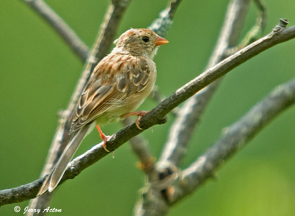"""<div class=""""jaDesc""""> <h4> Juvenile Field Sparrow - August 13, 2009 </h4> <p> It is difficult to identify the young sparrows because they look similar.  This is a juvenile Field Sparrow; it has the pink beak and legs like the adult.  The light brown head feathers are just starting to show.</p> </div>"""