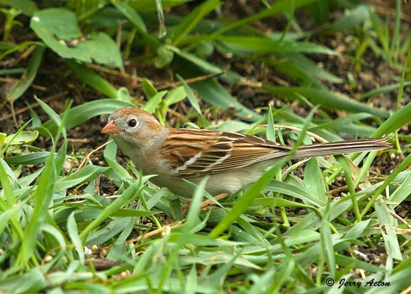 """<div class=""""jaDesc""""> <h4> 1st of Year Field Sparrow - May 6, 2009</h4> <p> This is the smallest sparrow that visits our yard.  We had a nesting pair last year, but usually they do not stay. They like to ground feed on white millet seeds.</p> </div>"""