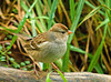 """<div class=""""jaDesc""""> <h4> Immature White Crowned Sparrow on Perch - October 16, 2009</h4> <p> I love the coloring of the immature White-crowned Sparrows as much as the adult coloring.  At the moment, we have more migrating immature and adult sparrows than we have ever had in the last 10 years.</p> </div>"""