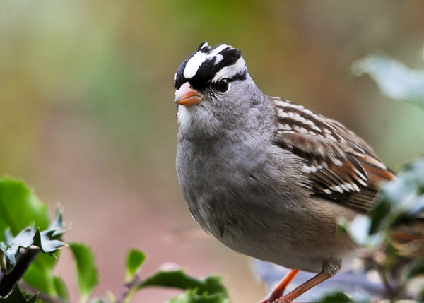 """<div class=""""jaDesc""""> <h4>White-crowned Sparrow in Holly Bush - November 5, 2012 </h4> <p> Four White-crowned Sparrows have stopped by on their way South.  This guy seems to be missing some top feathers.</p> </div>"""