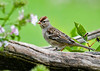 """<div class=""""jaDesc""""> <h4>Immature White-Crowned Sparrow on Perch - October 6, 2018</h4> <p>The migrating immature White-crowned Sparrows always arrive before the adults do.  We have two of them hanging around.</p> </div>"""