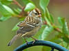 """<div class=""""jaDesc""""> <h4> Immature White-crowned Sparrow - October 16, 2009 </h4> <p> Every year in October a group of immature White-crowned Sparrows stops with the adults on their way south.  This is one of four that stayed for about 5 days.</p> </div>"""