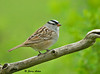 """<div class=""""jaDesc""""> <h4> White Crowned Sparrow - May 10, 2009 </h4> <p> This is our first White-crowned Sparrow of the year.  He mostly ground feeds, but once in awhile will move to a perch.  Yesterday he was feeding under our holly bushes as I was working outside.</p> </div>"""