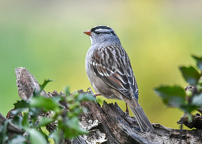 Adult White-Crowned Sparrow on Log - October 25, 2018 A migrating adult White-crowned Sparrow finally showed up and posed nicely for me.