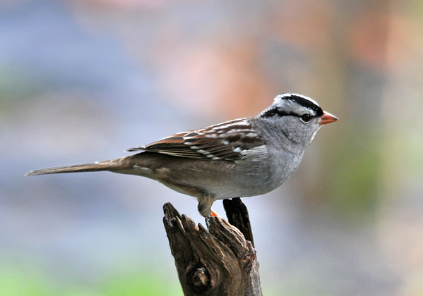 """<div class=""""jaDesc""""> <h4> White-crowned Sparrows All Gone - October 17, 2010</h4> <p> This is our last White-crowned Sparrow for the year.  The small group that was here for 2 weeks has moved on South.</p> </div>"""