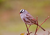 """<div class=""""jaDesc""""> <h4> White-crowned Sparrow in Red-twig Dogwood - May 7, 2012 </h4> <p> Four White-crowned Sparrows have been here since last Friday.  I finally managed to get a shot of one.  They mostly ground feed and stay hidden under the bushes.</p> </div>"""