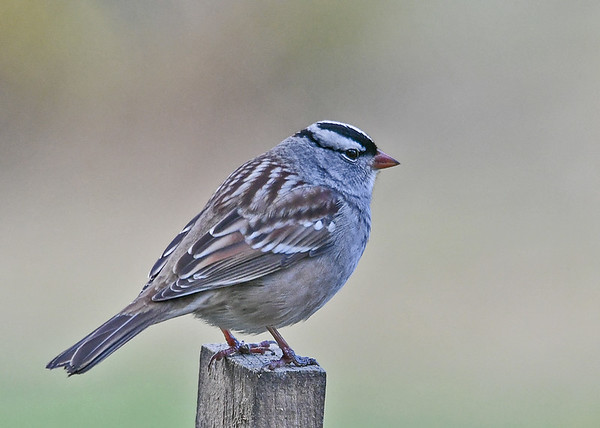 """<div class=""""jaDesc""""> <h4>Adult White-Crowned Sparrow Close-up - October 25, 2018</h4> <p>From this perch, the adult White-crowned Sparrow had a good view of the entire feeding area.</p> </div>"""