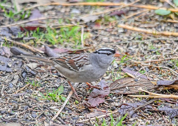 """<div class=""""jaDesc""""> <h4>White-Crowned Sparrow Ground Feeding - May 4, 2019</h4> <p></p></div>"""