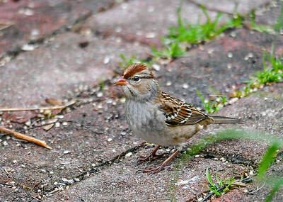 Immature White-Crowned Sparrow Ground Feeding - October 6, 2018 This cutie was hopping around on our brick walkway looking for white millet seeds.
