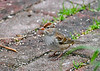 "<div class=""jaDesc""> <h4>Immature White-Crowned Sparrow Ground Feeding - October 6, 2018</h4> <p>This cutie was hopping around on our brick walkway looking for white millet seeds.</p> </div>"