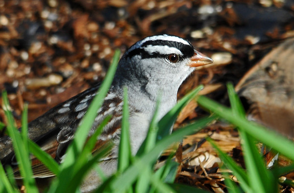 """<div class=""""jaDesc""""> <h4> White-Crowned Sparrow in Morning Sun - May 10, 2014</h4> <p>This White-crowned Sparrow was ground feeding in one of the flower beds where I spread millet seed.</p> </div>"""