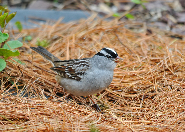 """<div class=""""jaDesc""""> <h4> White-Crowned Sparrow in Pine Straw - May 3, 2016</h4> <p>Five White-crowned Sparrows arrived today.  To encourage them to stick around for awhile, I spread some white millet seed in pine straw in one of our flower beds.  They seemed pleased.</p> </div>"""
