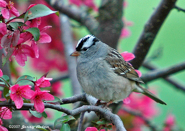"""<div class=""""jaDesc""""> <h4> White-crowned Sparrow in Flowering Crabapple - May 19, 2006 </h4> <p> Such a pretty setting for this White-crowned Sparrow in our blooming crabapple tree.</p> </div>"""